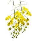 Красивая желтая цветя кассия. Стоковая Фотография RF