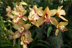 Красивая желт-зеленая орхидея cymbidium Стоковые Фото