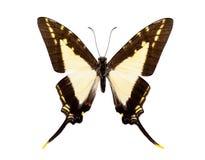 Красивая замкнутая бабочка изолированная на белизне Стоковые Изображения RF