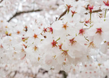 Красивая зацветая ветвь белых цветков Сакуры или цветков вишневого цвета зацветая на дереве в Японии, естественной предпосылке Стоковое фото RF