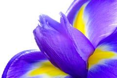 Красивая зацветая деталь макроса цветка радужки на белой предпосылке Стоковые Фотографии RF