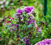Красивая зацветая декоративная капуста Стоковые Фото