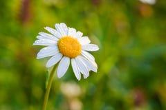 Красивая зацветая маргаритка на зеленом луге на восходе солнца Маргаритка цветет в зеленой траве с падениями воды росы Copu Стоковое фото RF