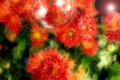 Красивая зацветая маргаритка стоковая фотография