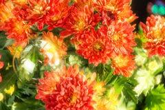Красивая зацветая маргаритка стоковые изображения rf