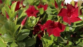 Красивая зацветая петунья Большой светлый парник Зацветая цветки в парнике сток-видео