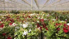 Красивая зацветая петунья Большой светлый парник Зацветая цветки в парнике акции видеоматериалы