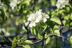 Красивая зацветая яблоня в саде Стоковое Фото