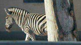 Красивая зебра идет к hippotigris ручки зоопарка видеоматериал