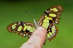 Красивая зеленая бабочка садилась на насест на пальце Стоковые Фотографии RF