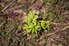 Красивая зеленая весна выходит в regrowth природы леса в предыдущей весне Стоковая Фотография