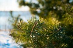 Красивая зеленая ветвь сосны Стоковые Изображения RF