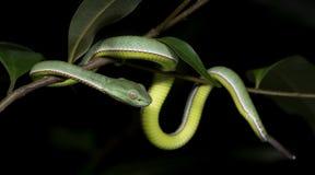 Красивая зеленая змейка на ветви, зеленом цвете Pitvipe ` s Vogel Стоковое Фото