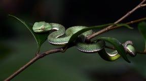 Красивая зеленая змейка на ветви, зеленом цвете Pitvipe ` s Vogel Стоковое Изображение