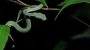 Красивая зеленая змейка на ветви, зеленом цвете Pitvipe ` s Vogel Стоковые Изображения RF