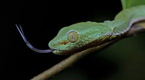 Красивая зеленая змейка на ветви, зеленом цвете Pitvipe ` s Vogel Стоковые Фото