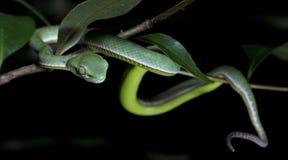 Красивая зеленая змейка на ветви, зеленом цвете Pitviper ` s Vogel Стоковая Фотография RF