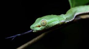 Красивая зеленая змейка на ветви, зеленом цвете Pitviper ` s Vogel Стоковые Изображения RF