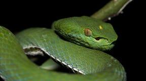 Красивая зеленая змейка на ветви, зеленом цвете Pitviper ` s Vogel Стоковое Фото
