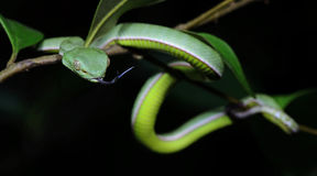 Красивая зеленая змейка на ветви, зеленом цвете Pitviper ` s Vogel Стоковое Изображение