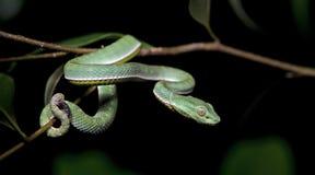 Красивая зеленая змейка на ветви, зеленом цвете Pitviper ` s Vogel Стоковые Изображения