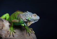 Красивая зеленая игуана Стоковое Изображение RF