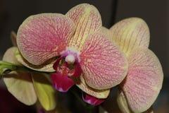 Красивая зеленая и красная орхидея стоковая фотография rf