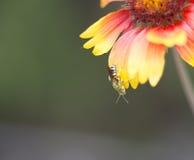 Красивая зеленая оса на лепестке цветка Стоковое Изображение RF