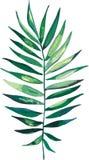 Красивая зеленая тропическая милая симпатичная чудесная ладонь Гавайских островов флористическая травяная Стоковые Изображения RF