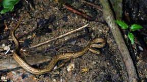 Красивая змейка, маленькая змейка на земле Стоковые Изображения RF