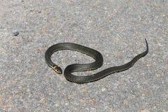 Красивая змейка отдыхая в солнце Стоковые Изображения RF