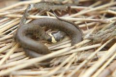 Красивая змейка травы Стоковые Фото