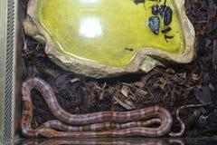 Красивая змейка Стоковая Фотография RF