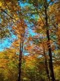 Красивая золотая осень в листьях леса желтых на деревьях и голубом небе стоковое фото