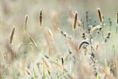 Красивая золотая трава Стоковое Изображение RF