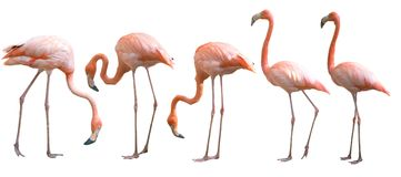 Красивая изолированная птица фламинго Стоковые Фотографии RF