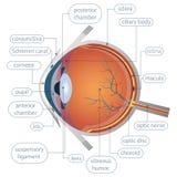 Красивая иллюстрация глаза стоковые изображения rf