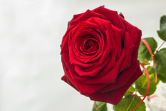 Красивая и большая яркая красная роза стоковое изображение