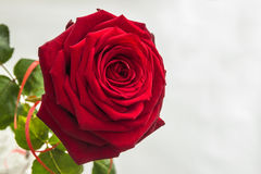 Красивая и большая яркая красная роза стоковые фотографии rf