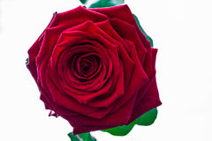 Красивая и большая яркая красная роза стоковые изображения