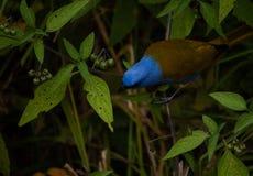 Красивая и естественная синь сцены и коричневая птица на galipan маленького города в Venezuenal стоковое фото