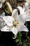 Красивая лилия белого цветка Стоковые Изображения