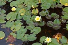 Красивая лилия в бассейне Стоковое Изображение RF
