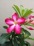 Красивая лилия импалы стоковое фото