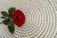 Красивая лилия красной розы над веревочкой Стоковая Фотография