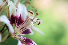 Красивая лилия цветков Стоковые Изображения