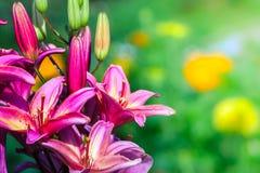 Красивая лилия Стоковое фото RF
