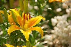 Красивая лилия yello и белые цветки Стоковые Фото