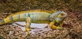 Красивая и красочная ящерица игуаны в гаде цветов желтых, серых и черных, популярных тропическом от Америки стоковая фотография rf