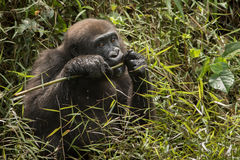 Красивая и одичалая горилла низменности в среду обитания природы Стоковое Изображение
